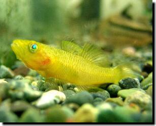 fishes Sulawesi Image4014